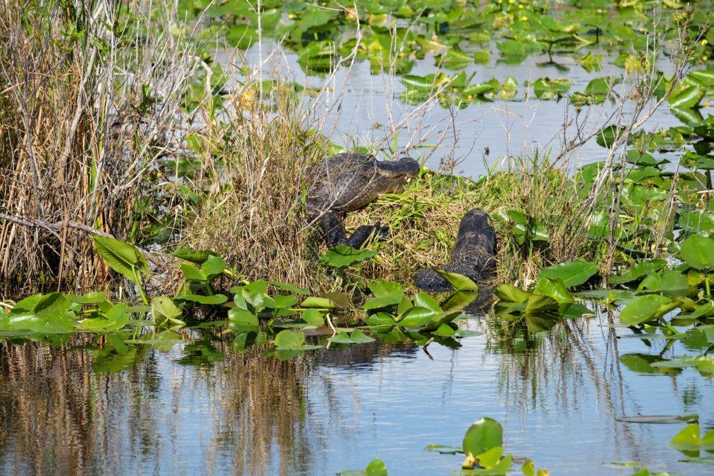 Alligators at Anhinga Trail